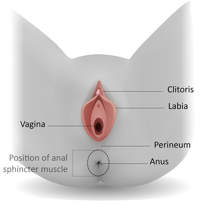 Perineum - Dr Colin Walsh